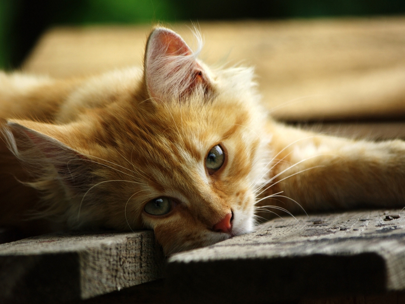 where to get your cat neutered for free