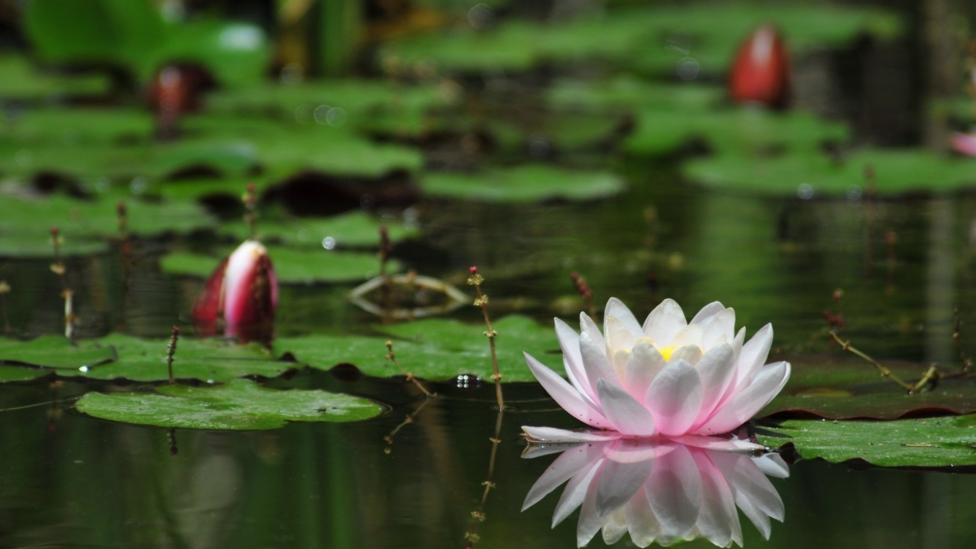 water lilies Texas water lilies is your main source for all your aquatic plants growing needs we have water lilies ranging from lotus, marginals, tropical water lilies and hardy water lilies, all under one roof, texas water lilies.