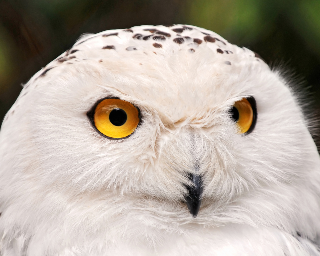 white owl muslim Top-funny-jokescom is a site of entertainment here you will find different jokes, riddles, pick up lines and insults we have divided and organized all the jokes, riddles, insults and pick up lines into different categories, to make is easier for you to find your favorites pieces.