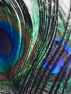 color, peacock, wild, feather, india, nature, swaroop, bird, macro