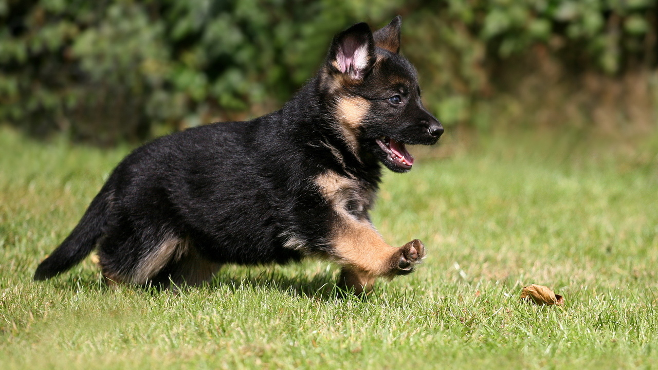 pet, german shepherd, puppy, dog